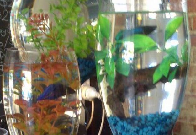 Large wine glass fish tanks
