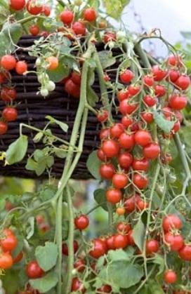 Hanging tomato basket