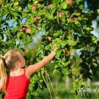 How to grow an apple tree from a seed