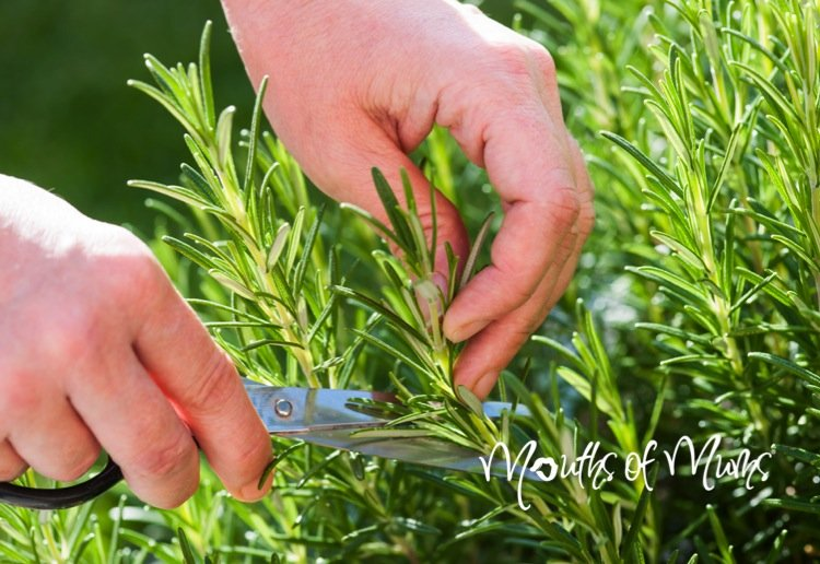 How to grow rosemary from a cutting