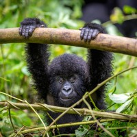 Video: Toddler plays hide and seek with a Gorilla!