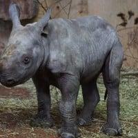 Video: A baby rhino's first bath