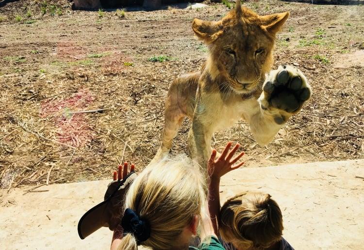 taronga-dubbo-lion-cubs