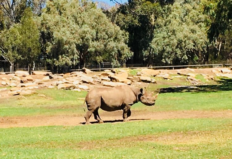 taronga-dubbo-rhino