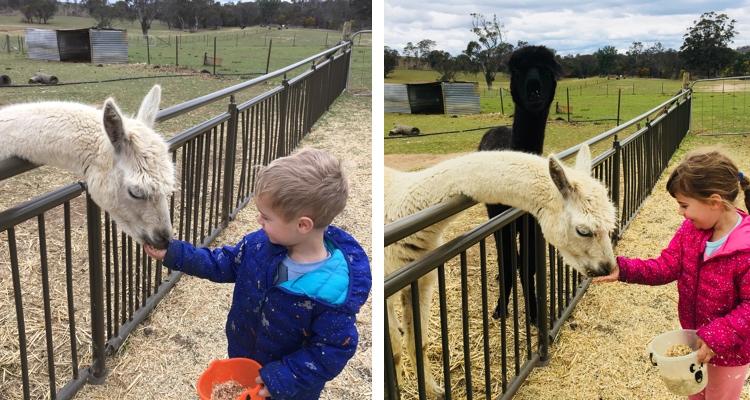mowbray farm-alpaca