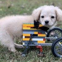Disabled Puppy Gets A LEGO Wheelchair