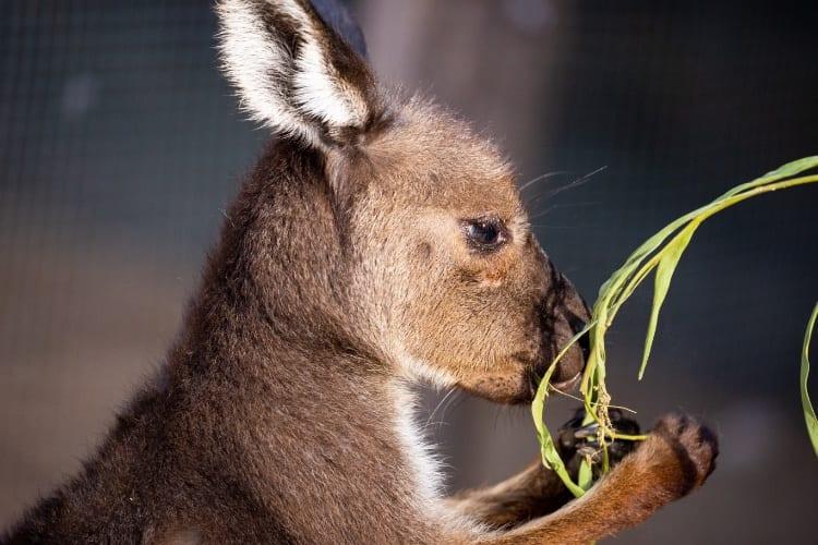 WILD LIFE Sydney Zoo kangaroos